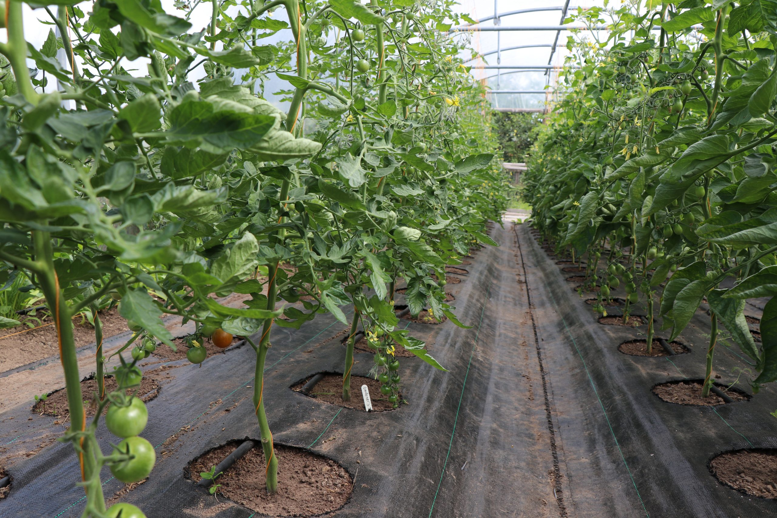 organic tomatoes growing in polytunnel