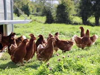 organic hens at drumanilra organic farm on grass